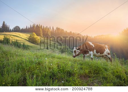 Cow On Green Meadow. Nature Composition.