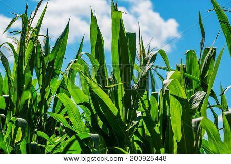 Beautiful Corn Field On Blue Sky Background