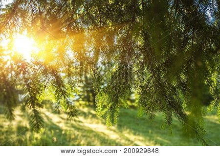 Fresh Green Pine Branches In The Sunny Forest On The Background Of Mountains