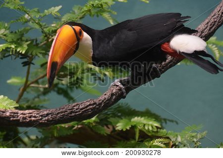 Colorful toucan sitting perched in a tree.
