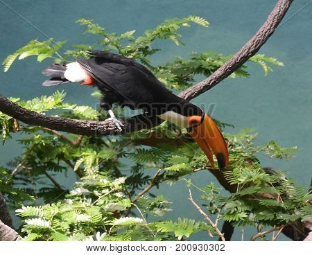 Very bright and colorful toucan balancing on a tree branch.