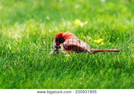 A very red male cardinal feeding his eight day old chick on a green lawn during the chicks first hours out of the birds nest.