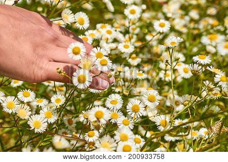 Girl hand stroking the field with daisies. Unity with nature. Chamomile for natural tea.