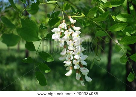 Flowers Of Robinia Pseudoacacia Arranged In Loose Drooping Clumps