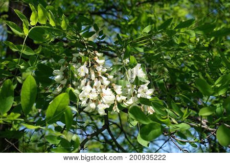 Racemes Of White Flowers Of Robinia Pseudoacacia