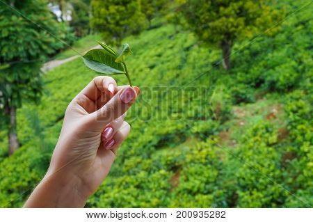 Picking tea leaves at a tea plantation closeup picking tea leaf