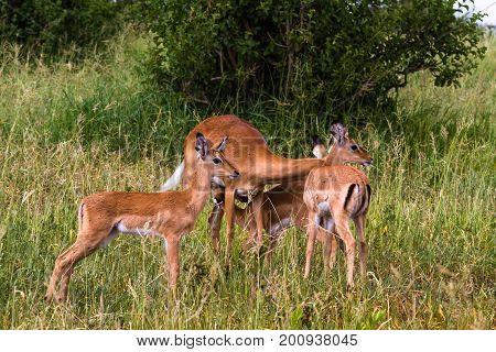 Small herd of impalas. Tarangire, Tanzania, Africa