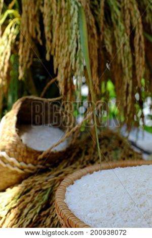 Sheaf Of Rice And Paddy Grain