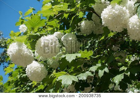 Snowball Cultivar Of Guelder Rose In Bloom