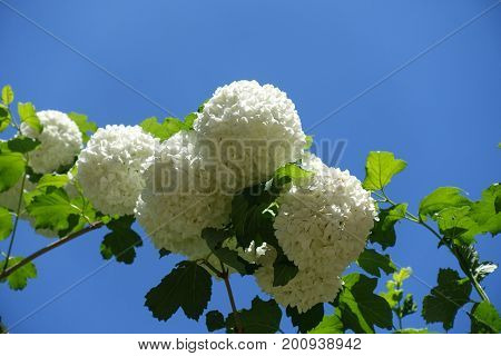 Sterile White Flowers Of Viburnum Opulus Against The Sky