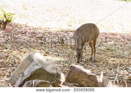 portrait image Deer in Nakhon Ratchasima Zoo