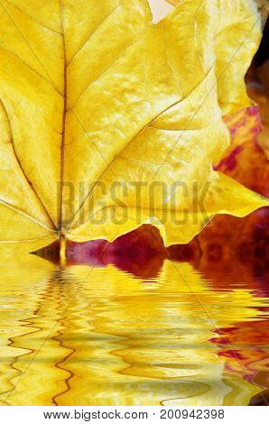 Close up (macro) of two Autumn leaves. Yellow leaf in foreground reflecting in rippling water (artificially added).