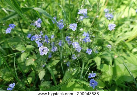 Four Lobed Corollas Of Blue Flowers Of Speedwell
