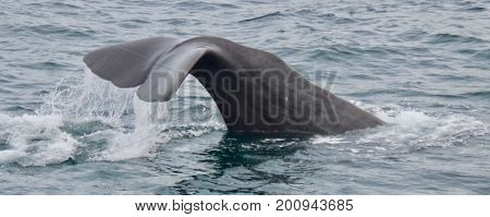 Sperm Whale tail diving in the Strait of Gibraltar