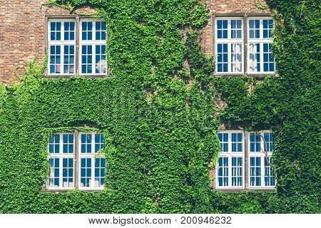 Beautiful window in a wall overgrown by thick green ivy in wawel castle