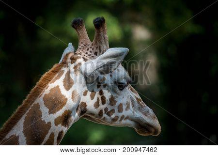 The Rothschilds giraffe (Giraffa camelopardalis rothschildi) wildlife animal