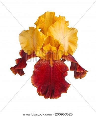 Closeup of a single yellow and burgundy flower of a bearded iris (Iris germanica) isolated against a white background