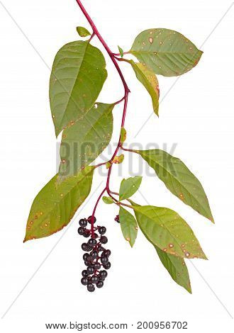 Branch with leaves showing infection with Cercospora and ripe purple fruit cluster of pokeweed (Phytolacca americana) isolated against a white background