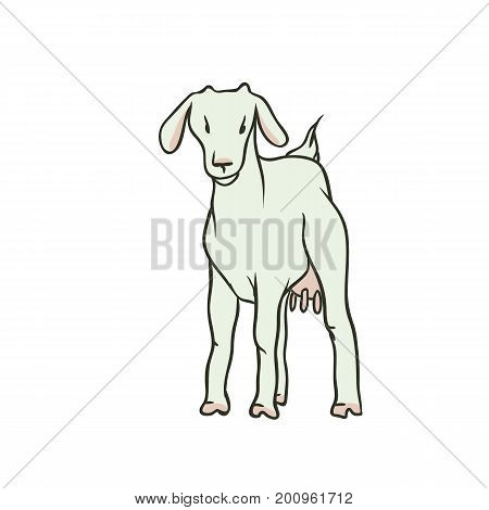 Vector sketch coloured isolated illustration farm animal. Young white goat with udders and no horns. The production of milk and beef