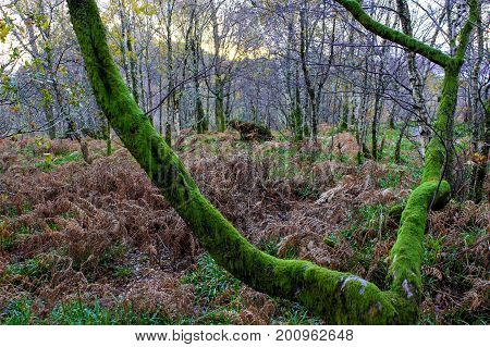 Landscape with A gnarled tree covered in moss at dusk in a Forrest in the Scottish Highlands.