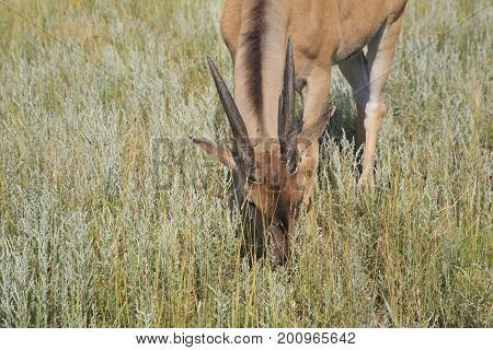 Eland antelope grazes in the steppe close up