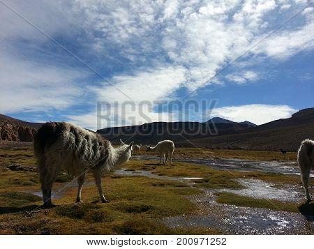 Lama In Bolivian Altiplano.