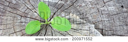Ecology concept. Rising sprout plantain of old wood and symbolizes the struggle for a new life, border design panoramic banner.
