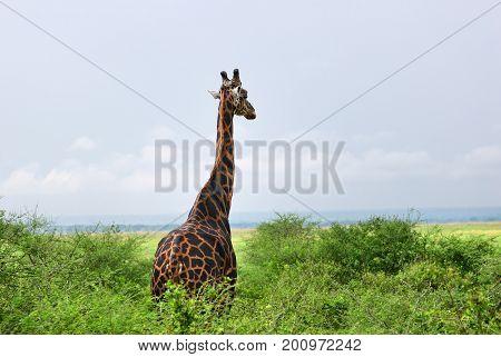 The Giraffe In Savanna. Uganda, Africa