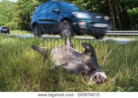 Dead badger , Melekilled by car, lyingwith its legs up in the air by the road. A car, out of focus, driving in the background horizontal image