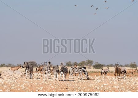 Burchells zebras Oryx red hartebeest with sandgrouses in the air at a waterhole in Northern Namibia