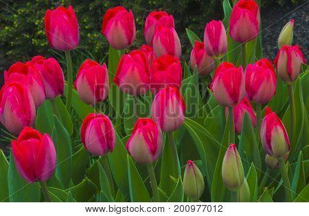 field of tulips. tulips flowers. Tulips background. Tulips garden.