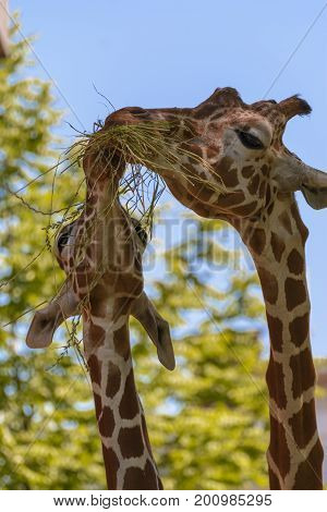 The reticulated giraffe also known as the Somali giraffe is a species of giraffe native to the Horn of Africa. It lives in Somalia southern Ethiopia and northern Kenya.