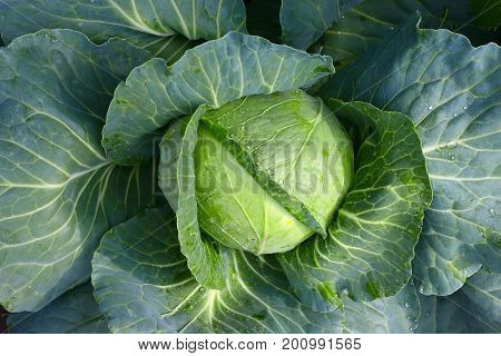 Cabbage Closeup. Landscape View Of Freshly Growing Cabbage Field, Chinese Cabbage Of Plant, Freshly