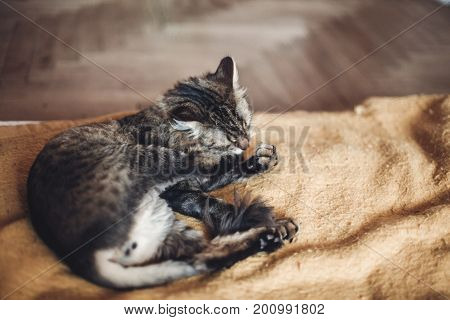 Beautiful Cat Licking His Paw On Stylish Yellow Blanket With Funny Emotions In Rustic Room. Cute Tab