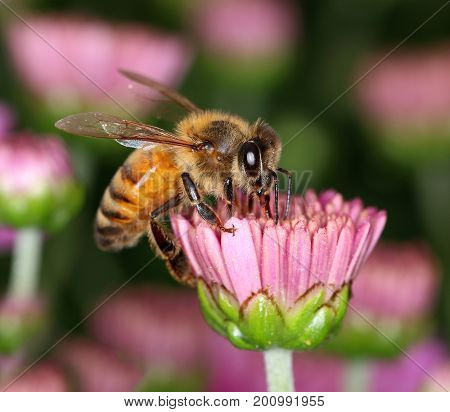 Busy bee collecting nectar on pink flower bud macro closeup
