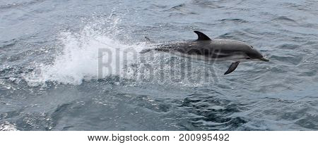 Striped dolphin Gibraltar Wild dolphins viewed fro a boat in the strait of Gibraltar