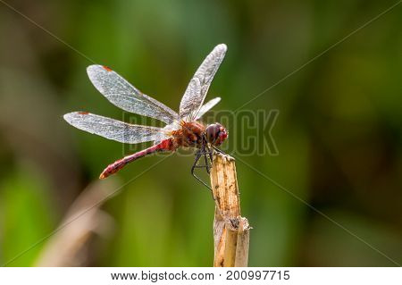 Ruddy Darter Dragonfly Perched On Stalk, Uk