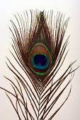 Close up of the eye of a beautiful peacock feather poster