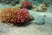 Speckled sandperch at the red sea coral reef poster