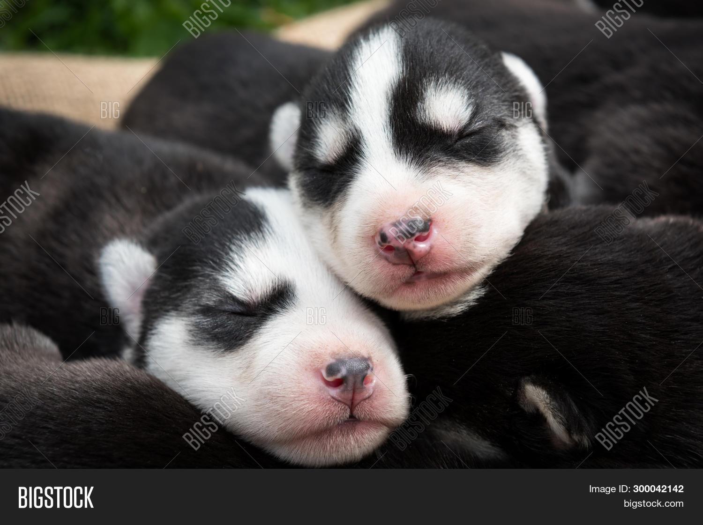 Lovely Newborn Husky Image Photo Free Trial Bigstock