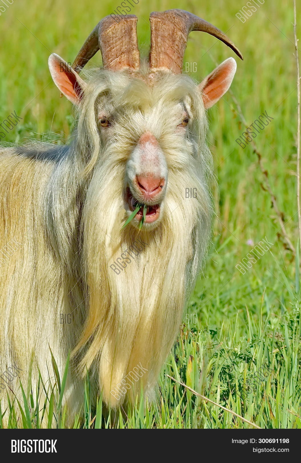Goat  Portrait, Image & Photo (Free Trial) | Bigstock