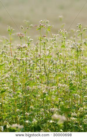 Flowering buckwheat.