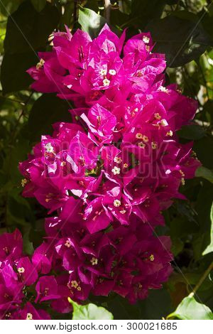 Blooming bougainvillea (lat. Bougainvillea glabra) in a greenhouse in a botanical garden poster
