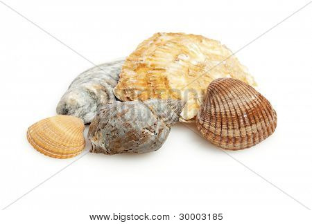 shells of bivalves and sea snail isolated on white background