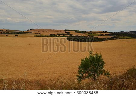 Summer; Fields Of Ripe Wheat In Catalonia