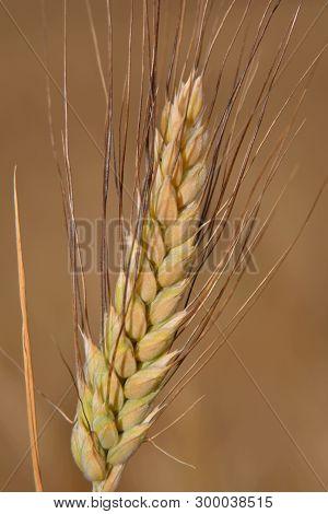 Summer; Ear Of Ripe Wheat In Fields Of Catalonia