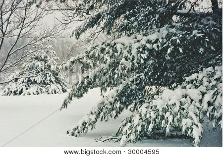 Snow Laden Branches