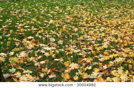 Autumn Leaves On A Grass