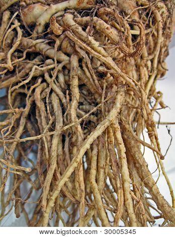 Natural Root Diversity, Tuber Details
