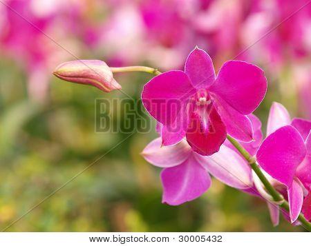Pink Purple Dendrobium Orchid Flower